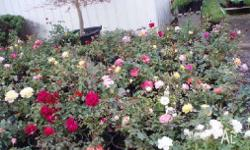 Bush Roses available in pink, red, yellow, white, mauve