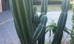 The plant is about 2m tall. will be easy to remove. I