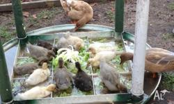 Gorgeous 4 week old Call Duck ducklings for sale - $15