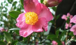 CAMELLIA SASANQUA, SINGLE AUTUMN FLOWERING SHRUB,