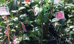 I HAVE A VARIETY OF CAMELLIAS IN 8 INCH POTS AT APPROX