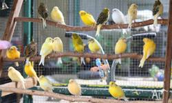 PICTURE 1 Canaries Young & Mature available prices from