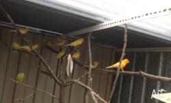Canaries singer male and female from $ 25 each Male