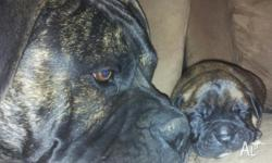 CANE CORSO PUPS 3 MALE-5 FEMALE Microchiped, Vacinated,