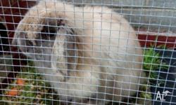 This cashmere male mini lop is 2 years old. Ideal for