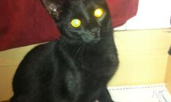 Male domestic short hair, desexed, microchipped,