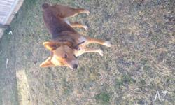 Male Red cattle/kelpie to give away to good home,