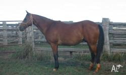 ASH reg:172247. Approx 15.1, 12yo. Stunning, strong and
