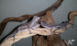 Central bearded dragon hatchlings for sale. All feeding