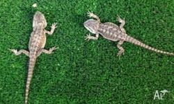 We have Central Bearded Dragons for sale. Basic