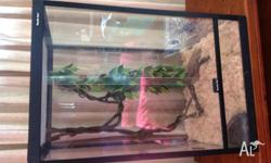 Beautiful Centralian Bredli with enclosure and