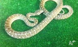 We have 2 Centralian Carpet Pythons yearlings for sale.