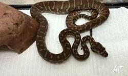 Centralian Carpet Pythons (Bredli) for sale 8 months