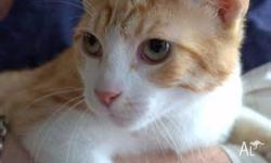 Charizard is a male, ginger & white, domestic short