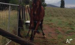 Charlie is a 2yr old gelding Welsh x Arab x Stockhorse.