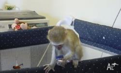 pet monkeys Classifieds - Buy & Sell pet monkeys across