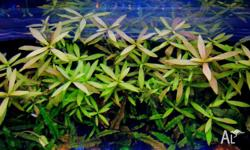 Hygrophila polysperma = $5 for 10 stems Cryptocoryne