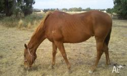 CHESNUT T/B GELDING 15.2 hh 8yrs old very quite horse