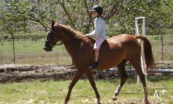 Chestnut Mare with white socks approx 14hh. Mare is an