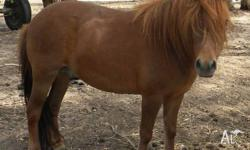 George is a 9yo registered Shetland Pony gelding. Is