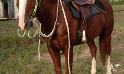 7yr old, 14.3hh chestnut stock horse gelding. Abby