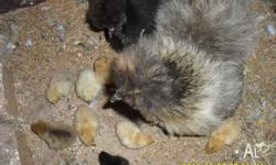 Eight day old Silkie chicks for sale. Hatched on the