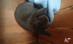 I have a female mini lop bunny named Holly she is bout
