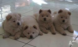 This are the best of Chow Chow puppies we have ever