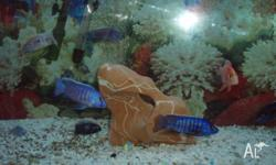 LOTS OF CICHLIDS ALL SIZES ARE NOW HALF PRICE. CICHLIDS
