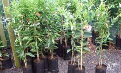 Citrus Trees Many varieties of orange lemon mandarin