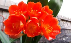 Hi, I have a lovely selection of Clivia's for sale. The