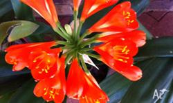 large healthy plants in flower orange only $18 ea also
