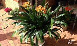 I HAVE TWO BEAUTIFUL VERY HEALTHY ORANGE CLIVIAS FOR