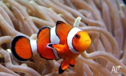 i am trying to sell my clown fish he keeps attacking my