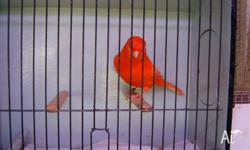 i have club rung red factor canaries nice color show