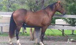 Rising 4yold Clydesdale X Station breed gelding 15HH