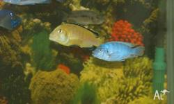 I am selling or can swap for smaller cichlids (pref