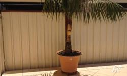 We offer two seperate items for sale. 1. Cocos palm