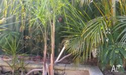 3 x COCOS PALMS. EACH OVER 2 METRES TALL. IN TUBS. $