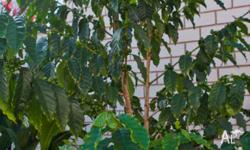 Two coffee trees - they're around 1-1.5 metre tall.