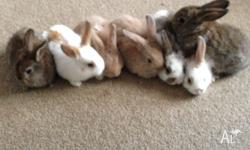 Beautiful baby rabbits for sale $40.00 each. They are