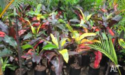 Striking colours in this Croton. New leaves are a