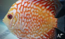 Hey I have 8 colour small discus fish for sale as just