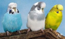 I have available a few very young budgies - just out of