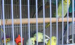 Hi i have about 25 young budgies for
