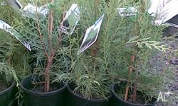 Conifer Arctic Green grows up to 4mts tall and into a