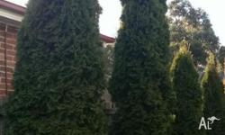 2 x 3.3m high and 2 x 2.2m high conifers. Removal and