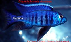 ---------------- FINTASTIC CICHLIDS ORMEAU � Like us on