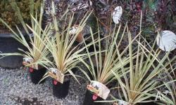 Cordyline Albertii Displays cream and green variegated