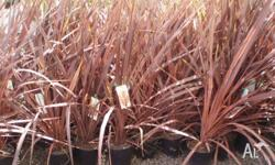 Cordyline Red Sensation brown red foliage available in